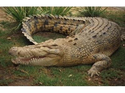 Кожа Kрокодила