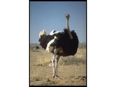 Ostrich Watch Straps