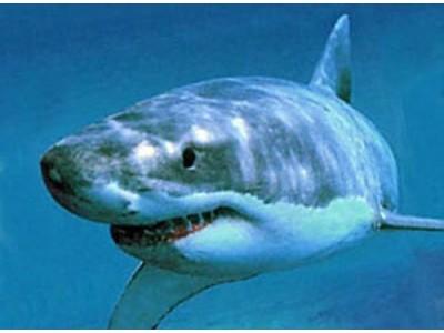 Shark Watch Straps