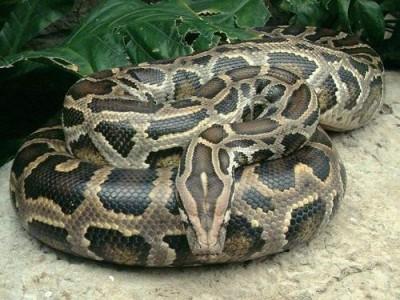 Snake Watch Strap