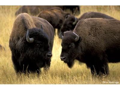 Buffalo Watch Straps